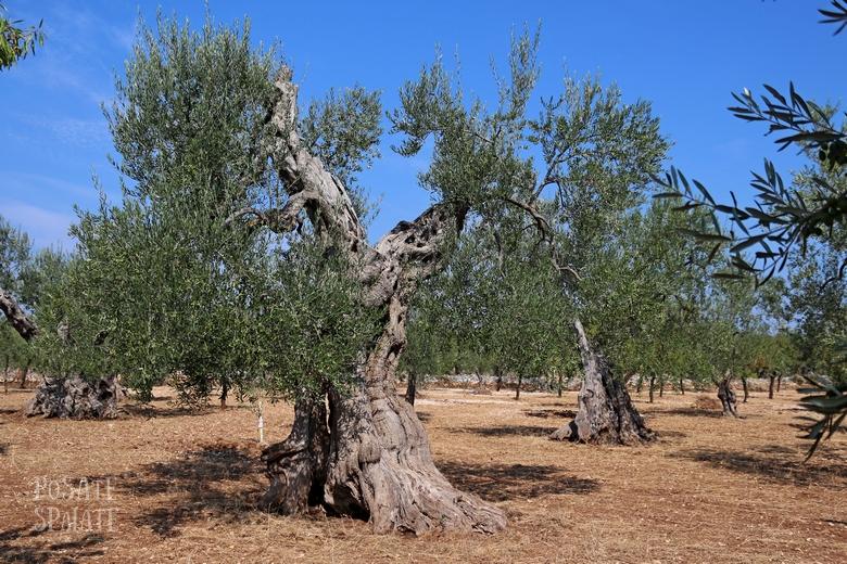 Gli ulivi in Puglia - Posate Spaiate